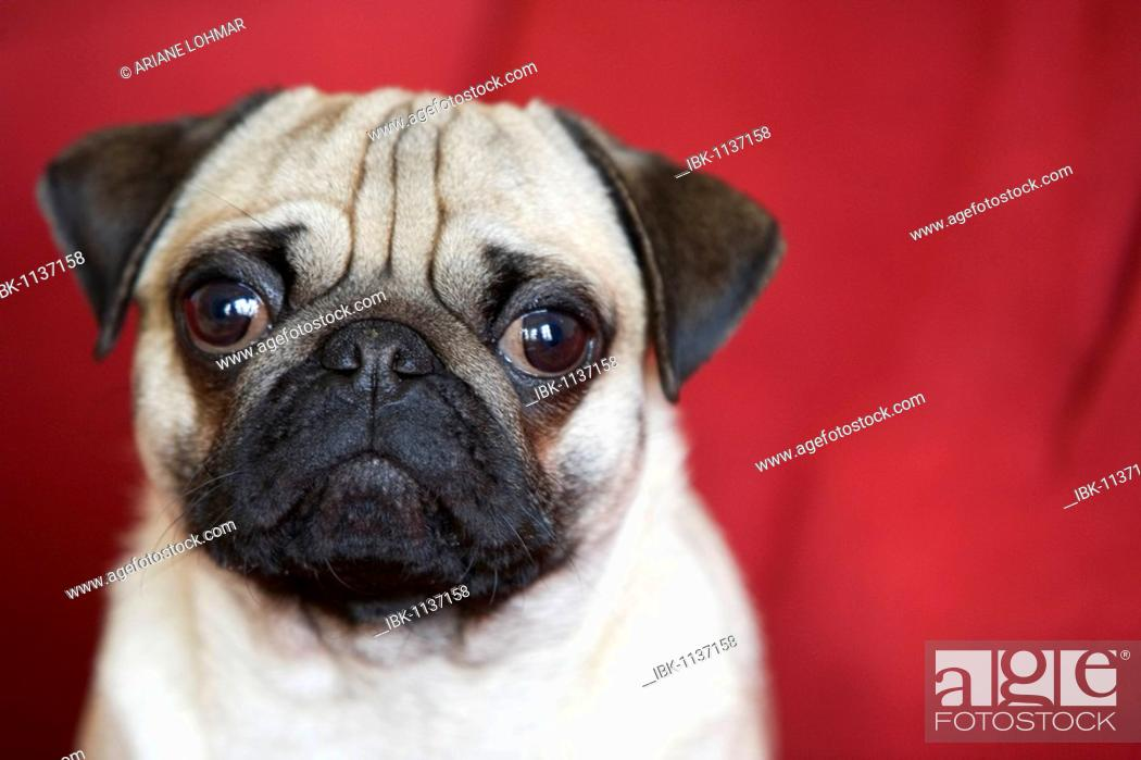 Stock Photo: Young pug in front of red backdrop, portrait.