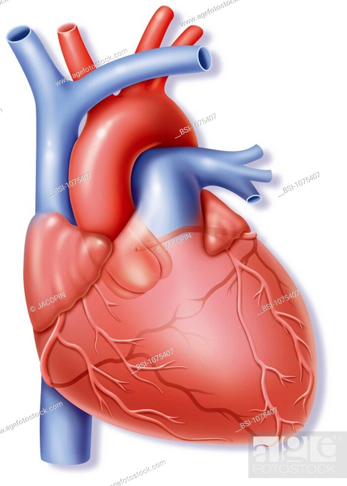 Heart Illustration The Heart Representation Of Human Heart And