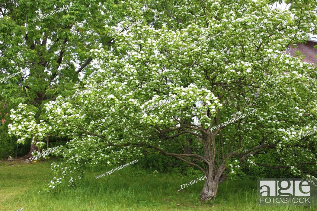 Stock Photo: Spring, flowering tree, .