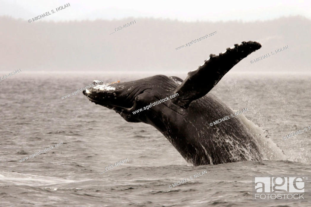 Stock Photo: Adult Humpback Whale (Megaptera novaeangliae) breaching in Southeast Alaska, USA.