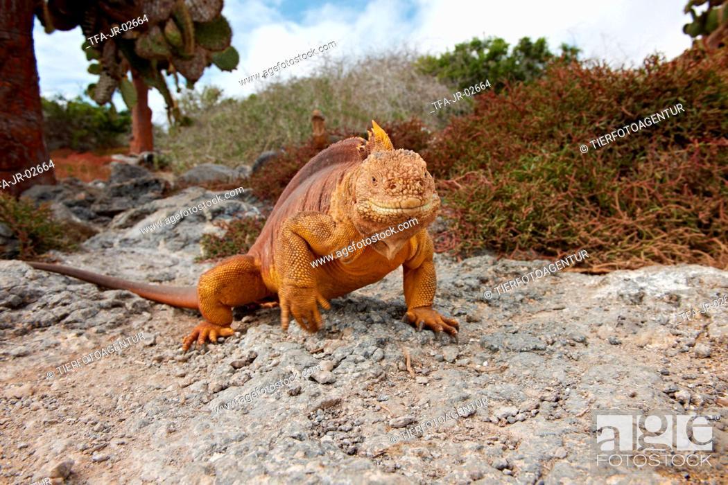 Stock Photo: Galapagos land iguana.