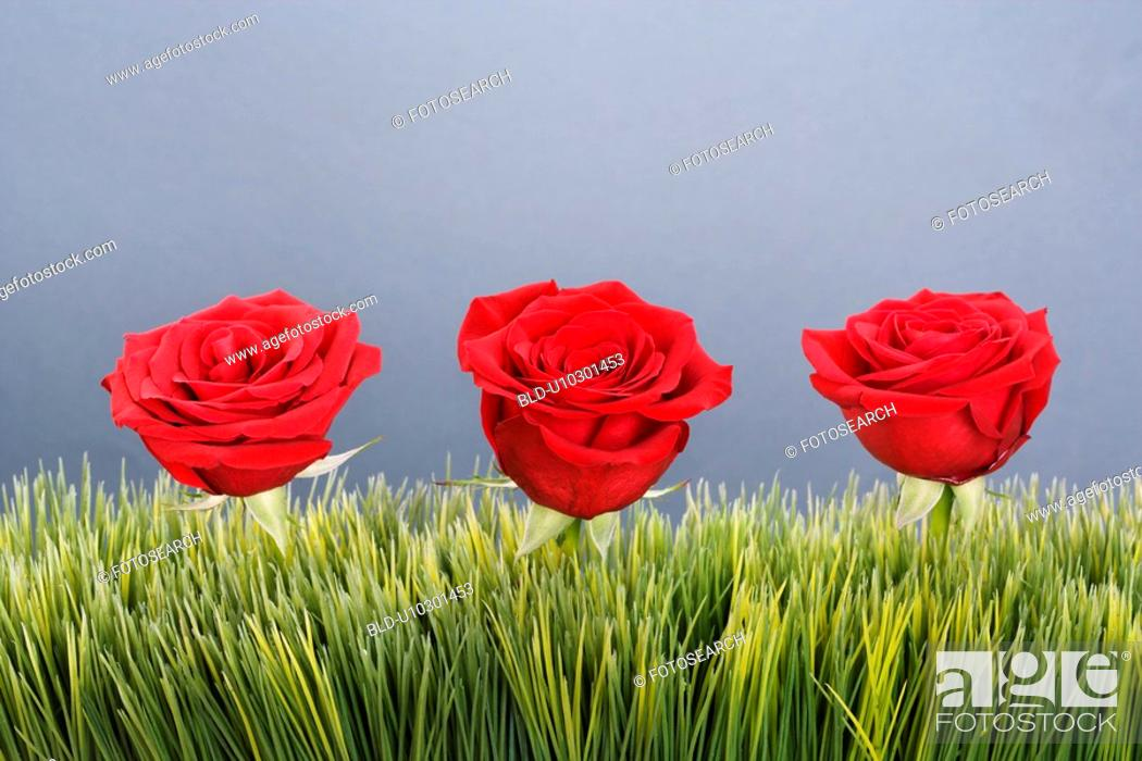 Stock Photo: Three red roses growing out of artificial green grass.