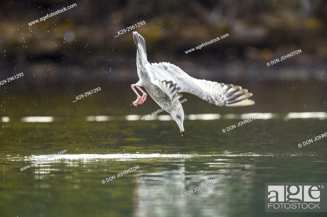 Stock Photo: Herring gull (Larus argentatus)- Dive hunting on the Chilko River, Chilcotin Wilderness, BC Interior, Canada.