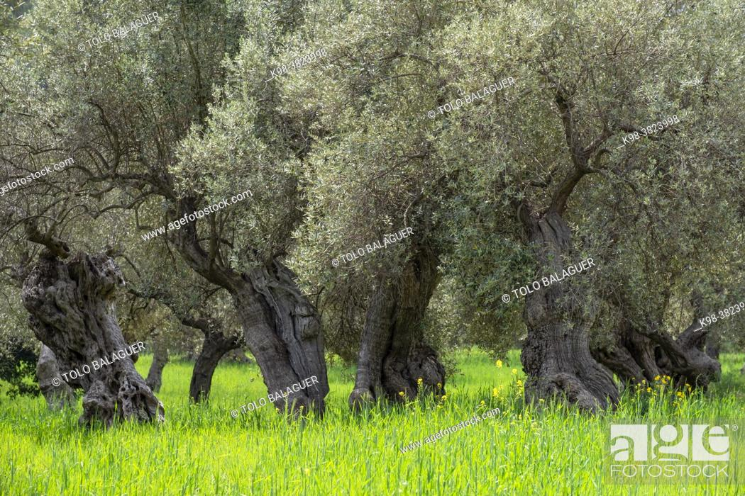Stock Photo: centenary olive trees of Alqueria d'Avall, Bunyola, Mallorca, Balearic Islands, Spain.