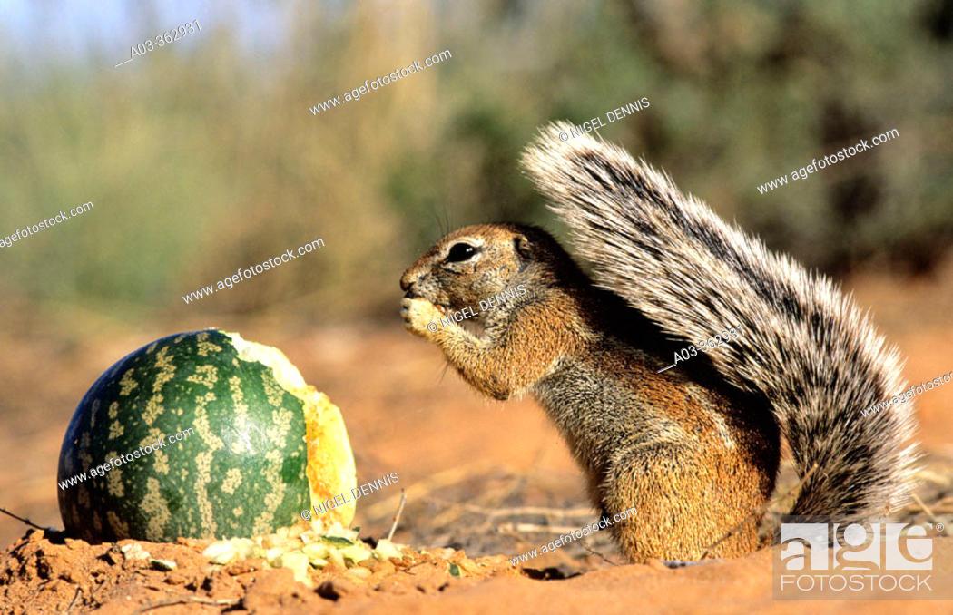 Stock Photo: Ground Squirrel (Xerus inaurus) eating Tsamma Melon. Kgalagadi Transfrontier Park, Kalahari, South Africa.