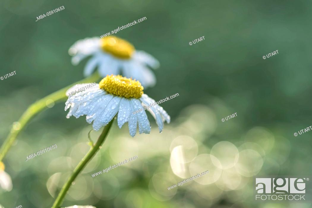 Stock Photo: Meadow, marguerites, blossoms, detail, dewdrop, morning light, blur,.
