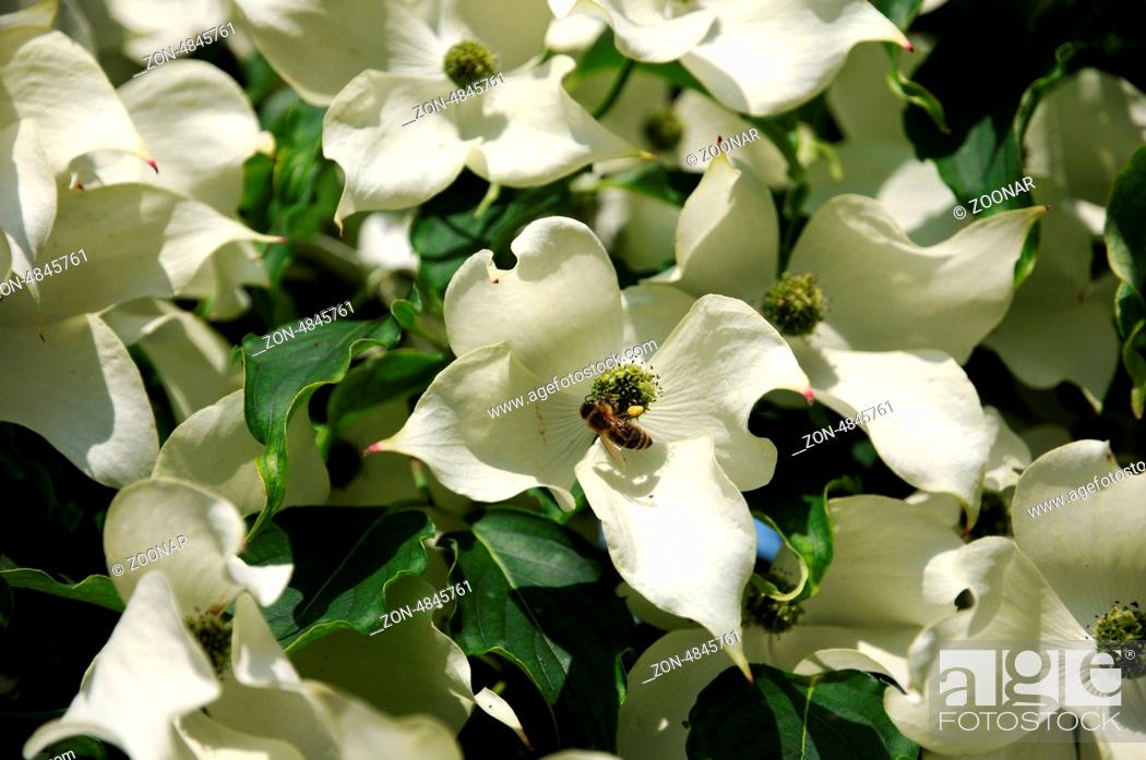 Stock Photo: Flowering Dogwood.