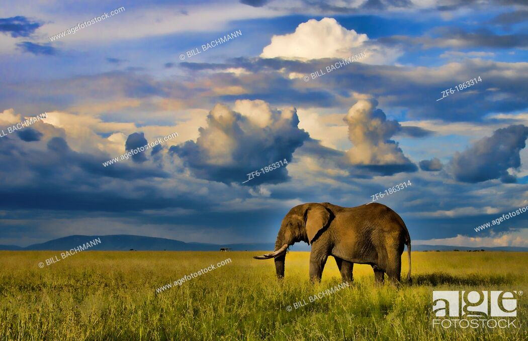 Stock Photo: Masai Mara National Park Kenya Africa sunset with huge male elephant in sunset with tall golden grass in Masai Mara.