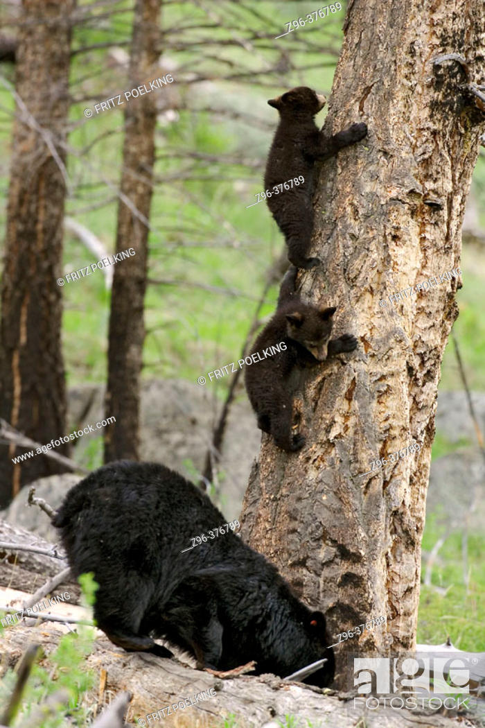 Stock Photo: Black Bears (Ursus americanus). Yellowstone National Park. USA.