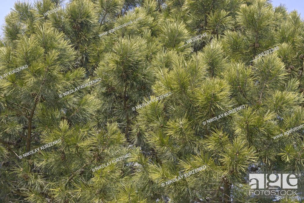 Stock Photo: Shortleaf pine (Pinus echinata). Called Shortleaf yellow pine, Southern yellow pine, Yellow pine, Shortstraw pine, Arkansas pine.
