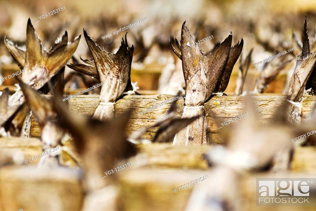 Stock Photo: tails of cod Stockfish hanging to dry on wooden racks, Lofoten, Norway.