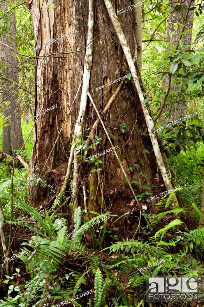 Stock Photo: Corkscrew Swamp Sanctuary - near Naples, Florida USA.