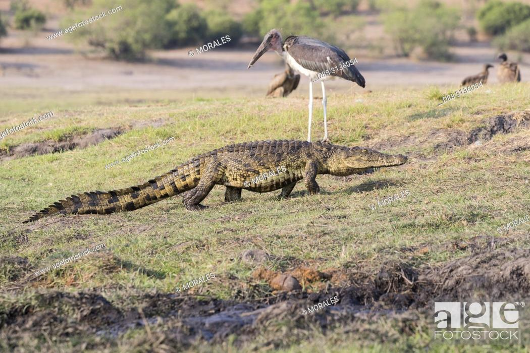 Stock Photo: Africa, Southern Africa, Bostwana, Chobe i National Park, Chobe river, Nile Crocodile (Crocodylus niloticus) comes to eat as well as African vultures (Gyps.