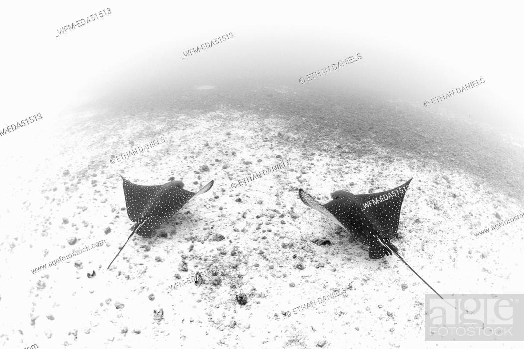 Stock Photo: Pair of Spotted Eagle Rays, Aetobatus narinari, Cocos Island, Pacific Ocean, Costa Rica.