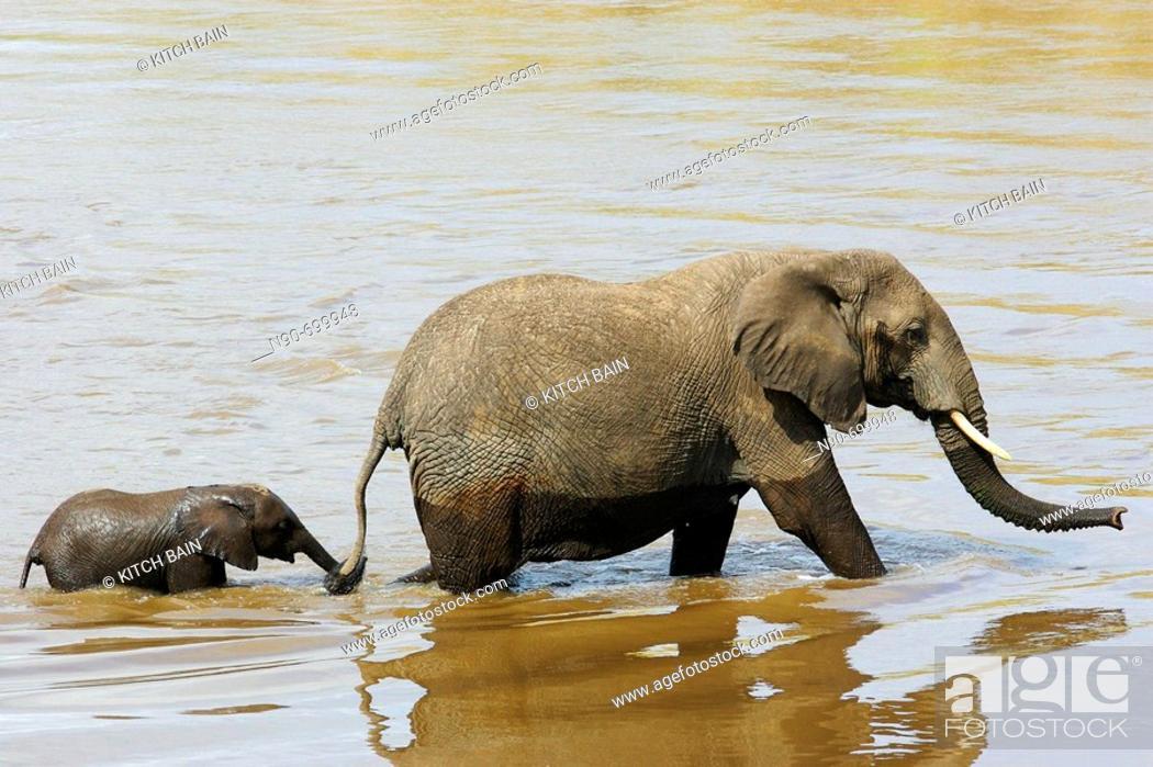 Stock Photo: African Elephants.