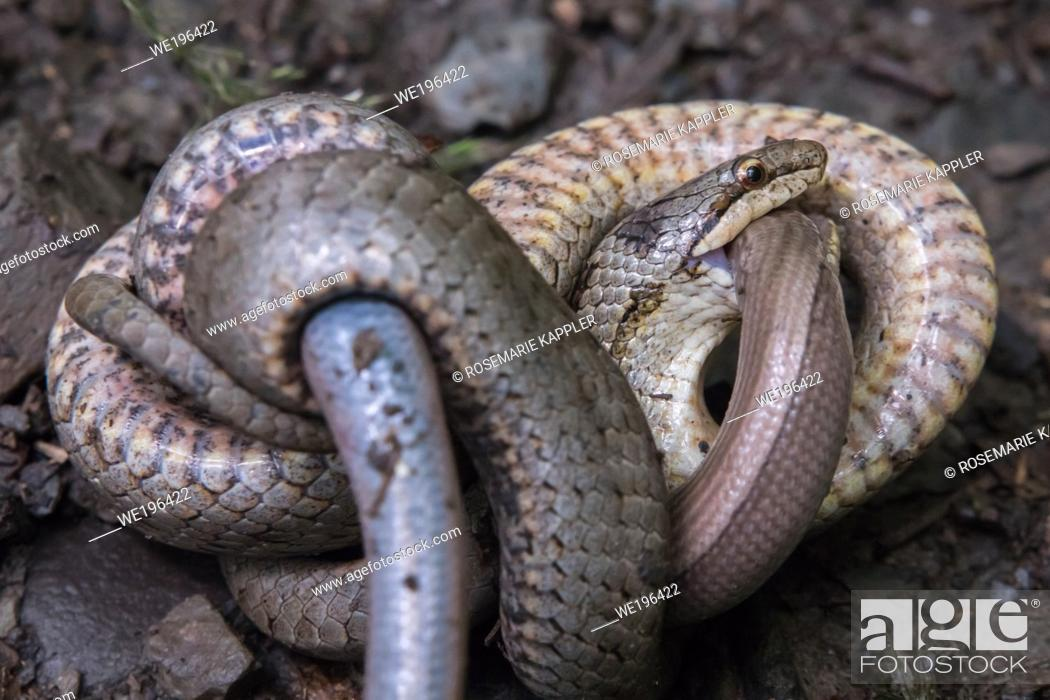Stock Photo: A smooth snake wraps around a captured slow worm.