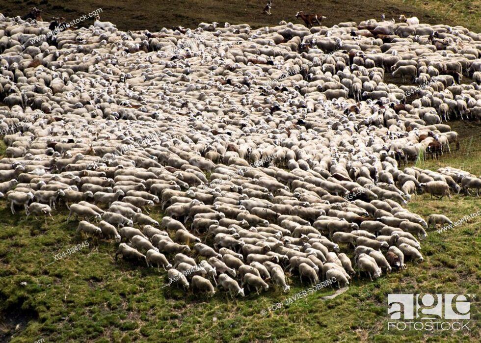 Stock Photo: Rebaño de ovejas en el Valle de la Cinqueta de Añes Cruces - Parque Natural Posets Maladeta - Valle de Gistaín - Sobrarbe - Huesca - Pirineo Aragonés - Aragón -.