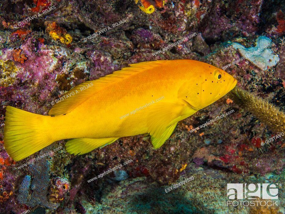 Stock Photo: EPINEPHELUS FULVUS, Los Roques, Venezuela phase coloration bright yellow with some blue spots.