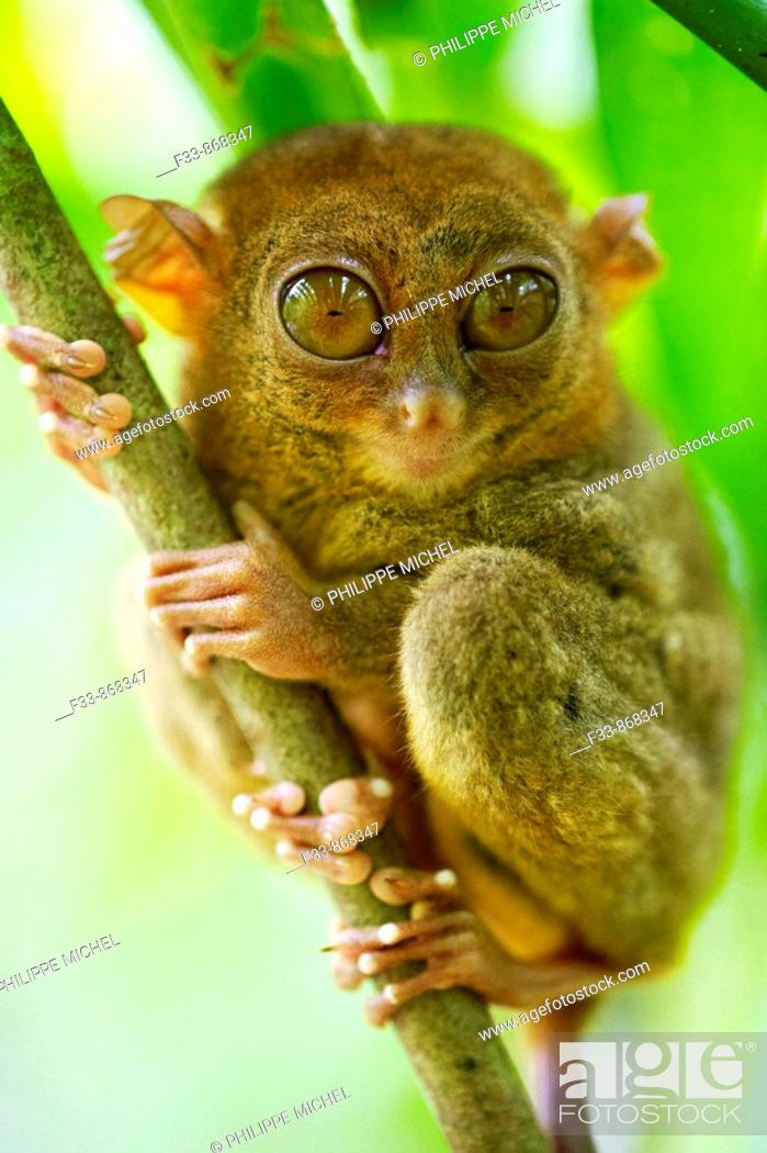 Stock Photo: Tarsier at Tarsier Visitors Center, Bohol, Visayas islands, Philippines.