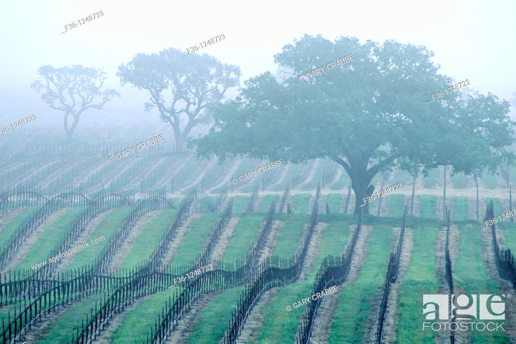 Stock Photo: Morning fog over vineyard rows and oak tree in spring, Union Road, Paso Robles San Luis Obispo County, California.