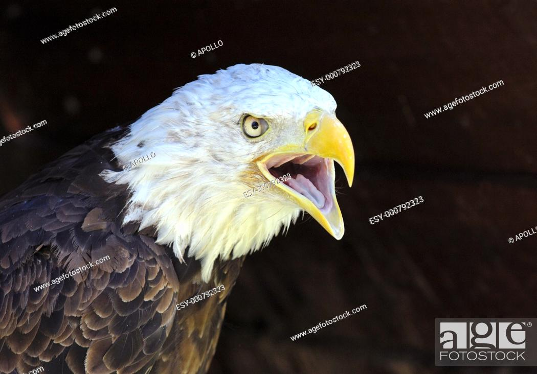 Stock Photo: Screaming Bald Eagle Haliaeetus leucocephalus.