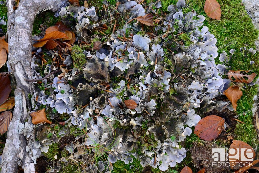 Imagen: Peltigera praetextata is a foliose lichen that grows next to mosses. This photo was taken in Montseny Biosphere Reserve, Barcelona province, Catalonia, Spain.