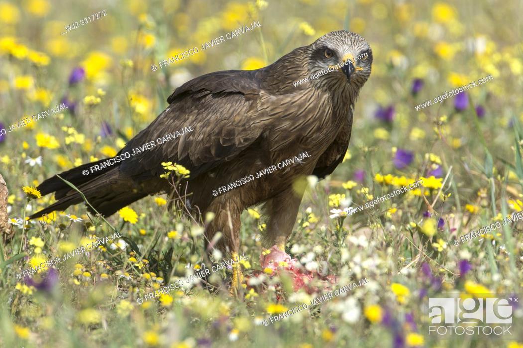 Stock Photo: Black kite (Milvus migrans) in a meadow in Extremadura, Spain.