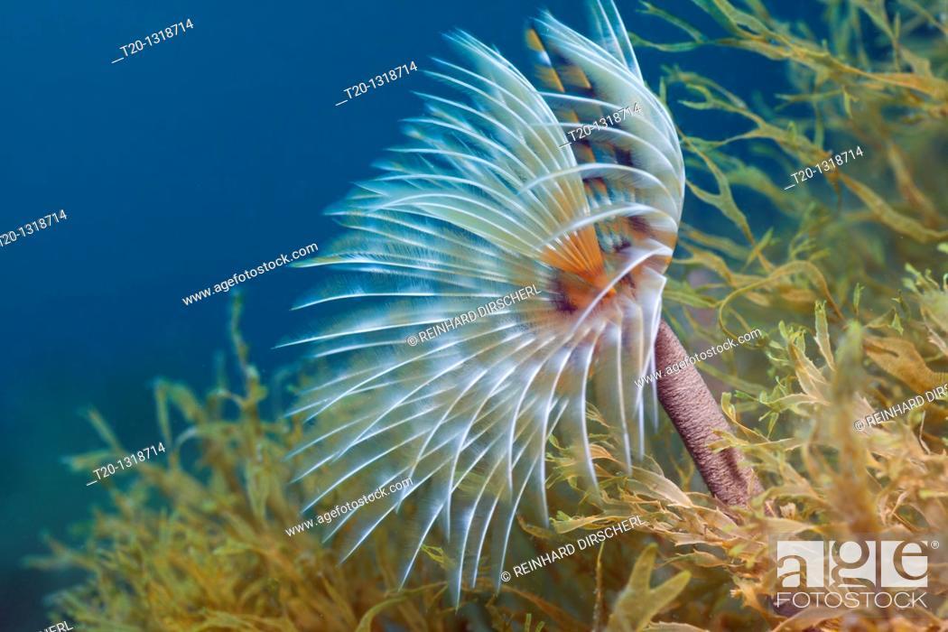 Stock Photo: Spiral Tube Worm, Spirographis spallanzani, Cap de Creus, Costa Brava, Spain.