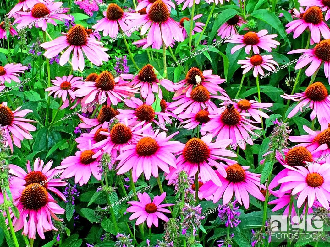 Stock Photo: cone flower, Echinacea purpurea.