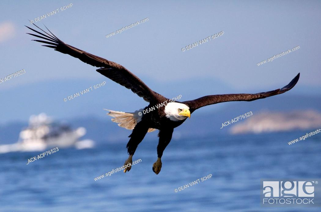 Stock Photo: Bald Eagle (Haliaeetus leucocephalus) in Flight, Raptor, Fishing, Summer, blue sky, sunshine, pleasure craft, Islands, calm ocean waters, Lund, B.C.