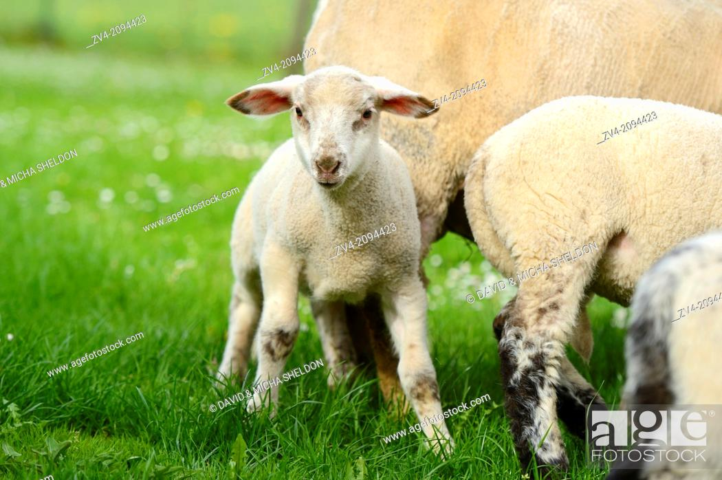 Stock Photo: Sheep (Ovis aries) lambs on a meadow in spring.