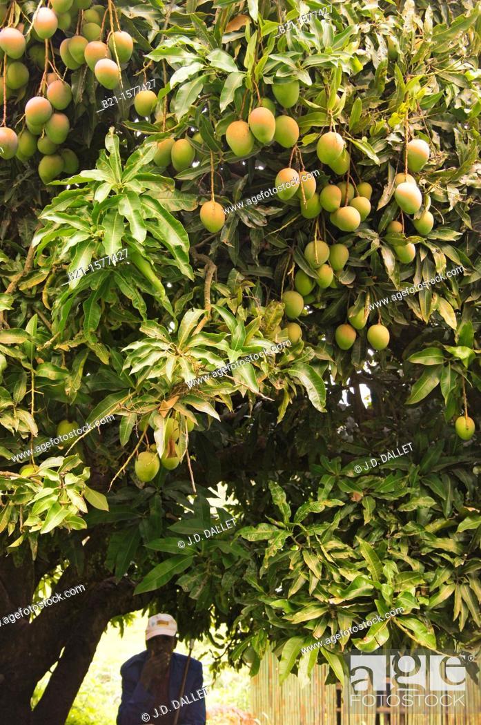 Stock Photo: Under a mango tree at Wondo Genet, Ethiopia.