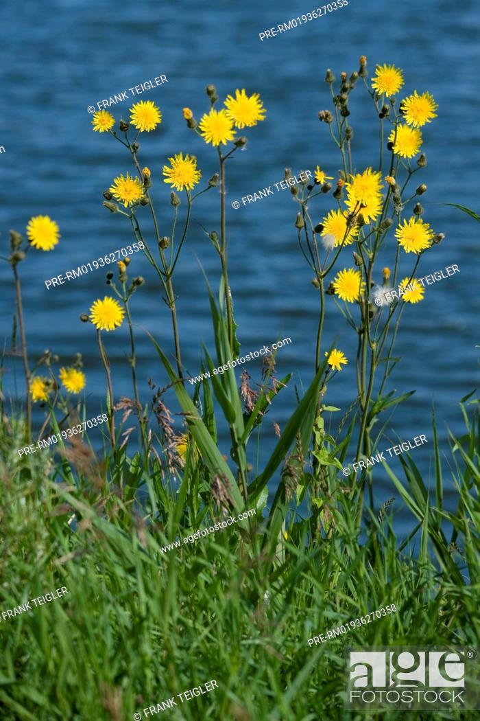 Imagen: Marsh sow thistle, Sonchus palustris / Sumpf-Gänsedistel, Sonchus palustris.