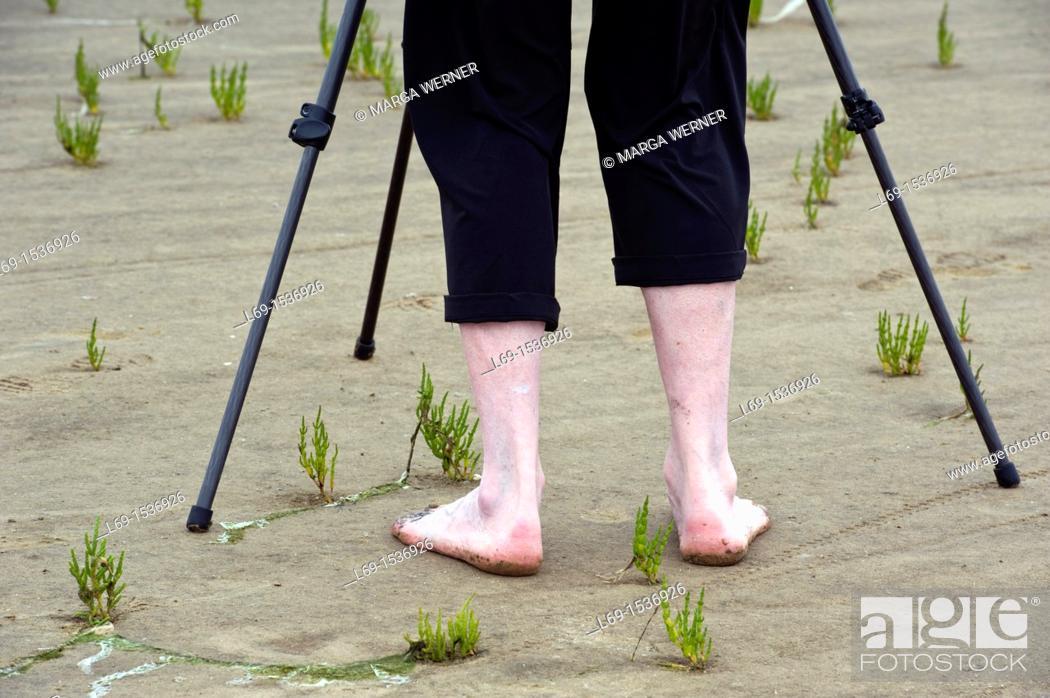 Stock Photo: Legs of a man in the Wadden Sea and tripod, common glasswort, Salicornia euopaea, Eiderstedt Peninsula, Schleswig-Holstein, Germany.
