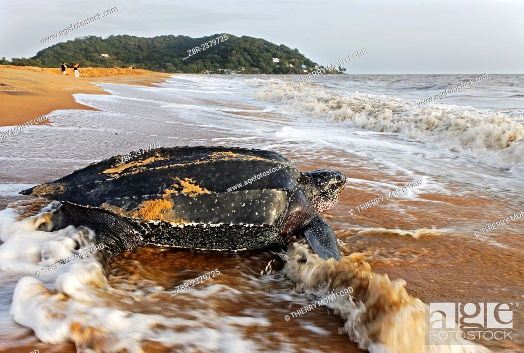 Stock Photo: Dermochelys coriacea. Leatherback turtle on the beach of Rémire-Montjoly. Back to the Sea. French Guiana.