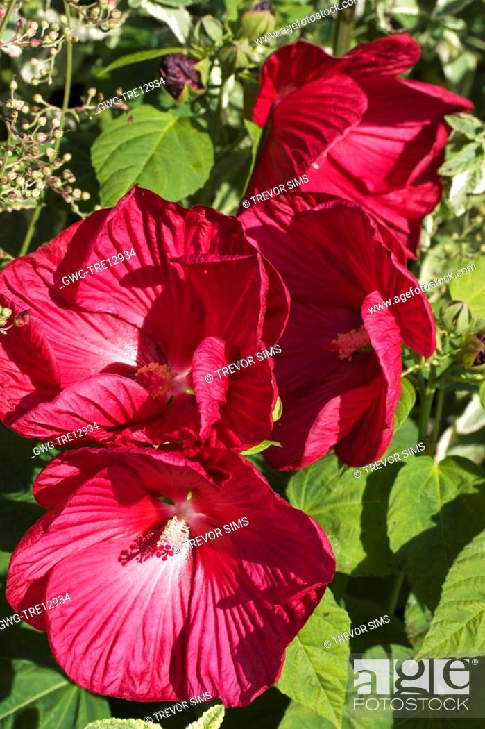 Hibiscus Luna Red Stock Photo Picture And Rights Managed Image