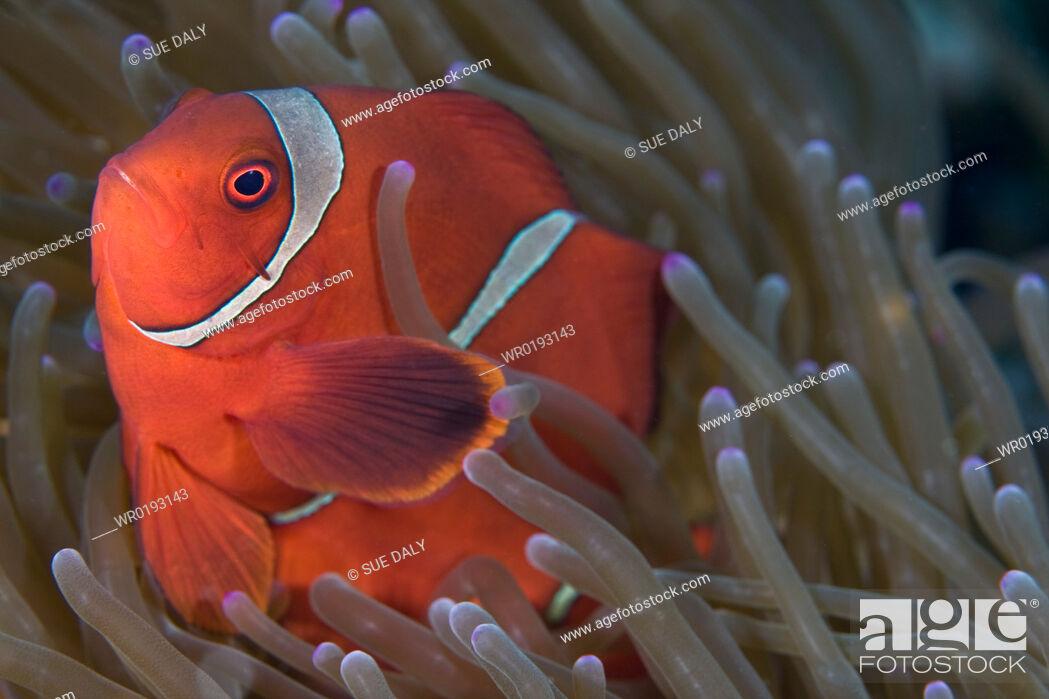 Imagen: Spine-cheeked Anemonefish Premnas biaculeatus.