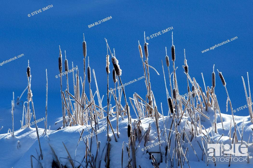 Stock Photo: Cattails growing on snowy hilltop.