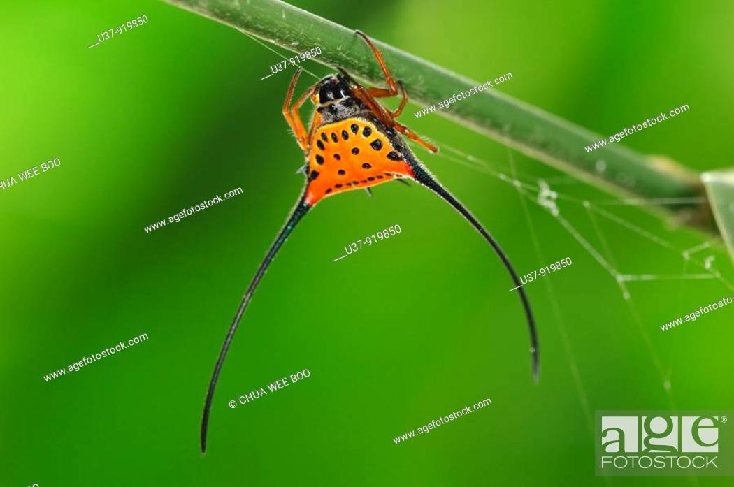 Stock Photo: Horned Spider, Borneo.