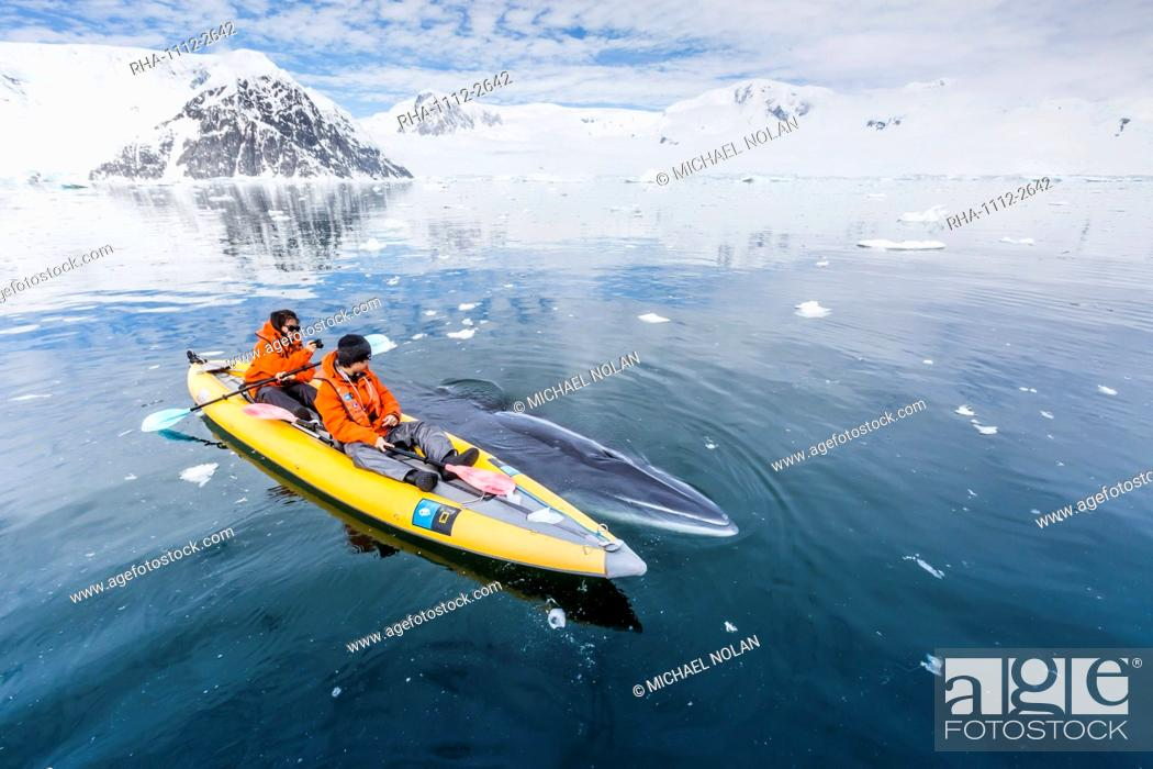 Stock Photo: A curious Antarctic minke whale approaches kayakers, in Neko Harbor, Antarctica, Polar Regions.