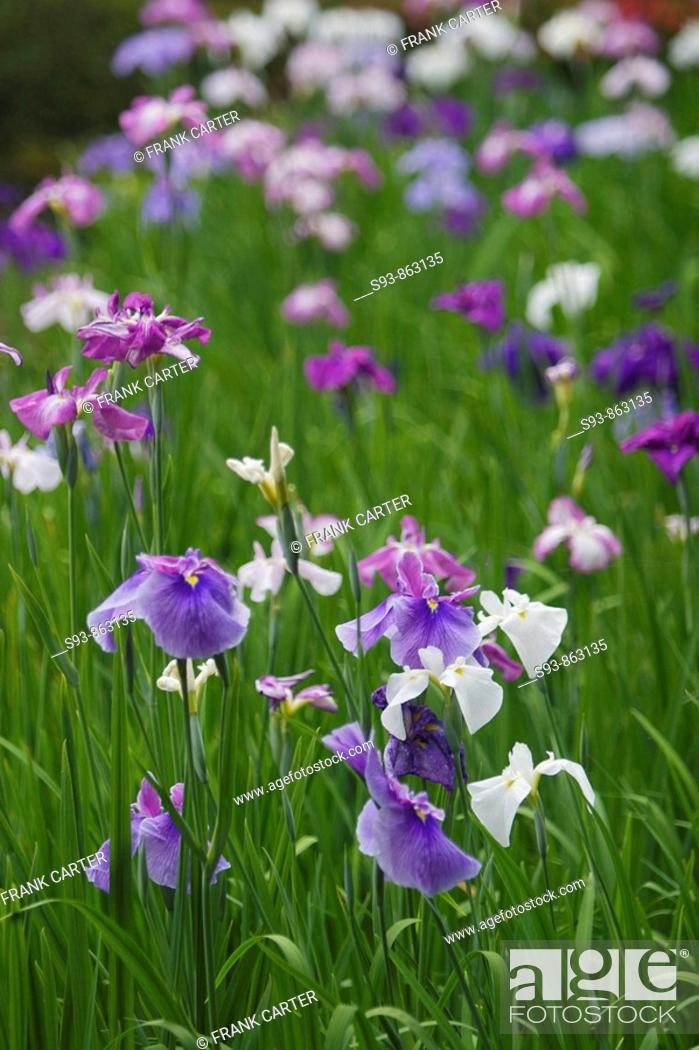 Stock Photo: A garden with purple and white  irises in the garden of Heian shrine in Kyoto city.