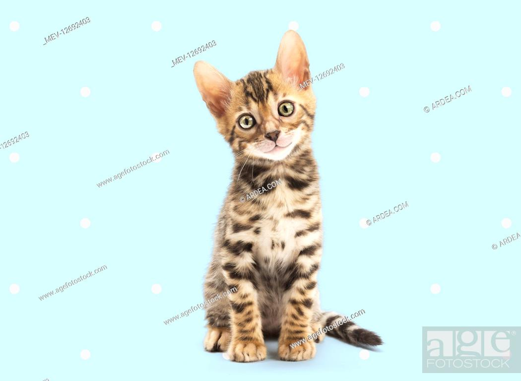 Stock Photo: Bengal Cat, kitten on spotty polka dot background.