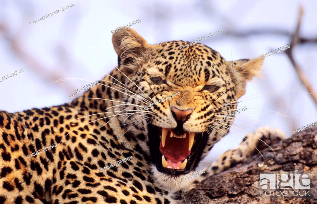 Stock Photo: Leopard (Panthera pardus) snarling. Sabi Sabi. Greater Kruger National Park, South Africa.