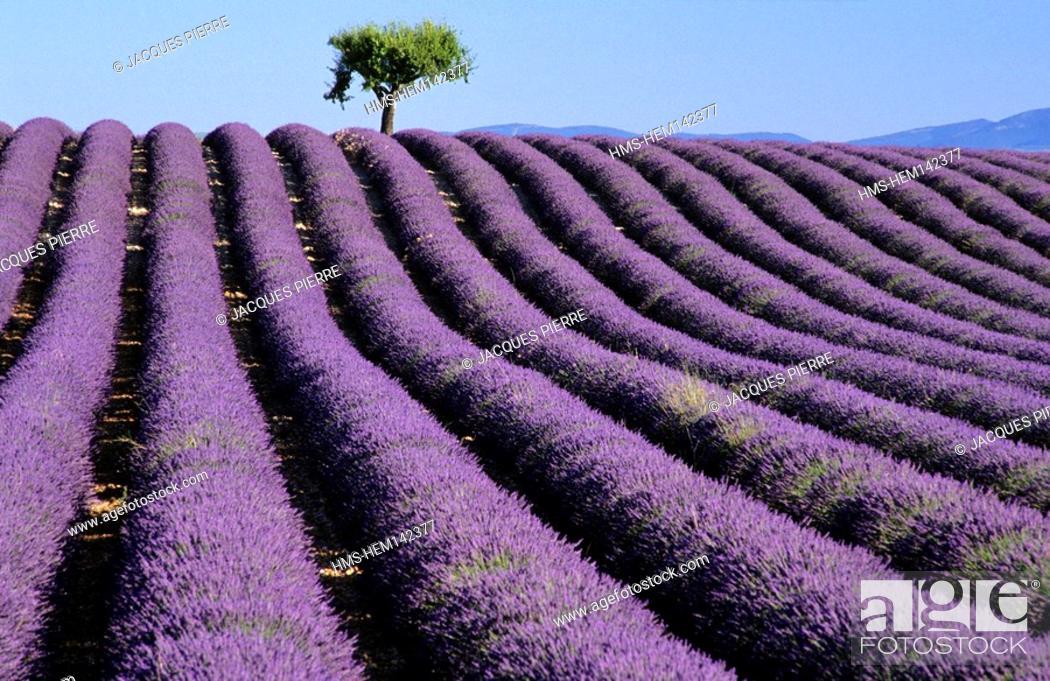 Stock Photo: France, Alpes de Haute Provence, Verdon Regional Natural Park, Valensole Plateau.