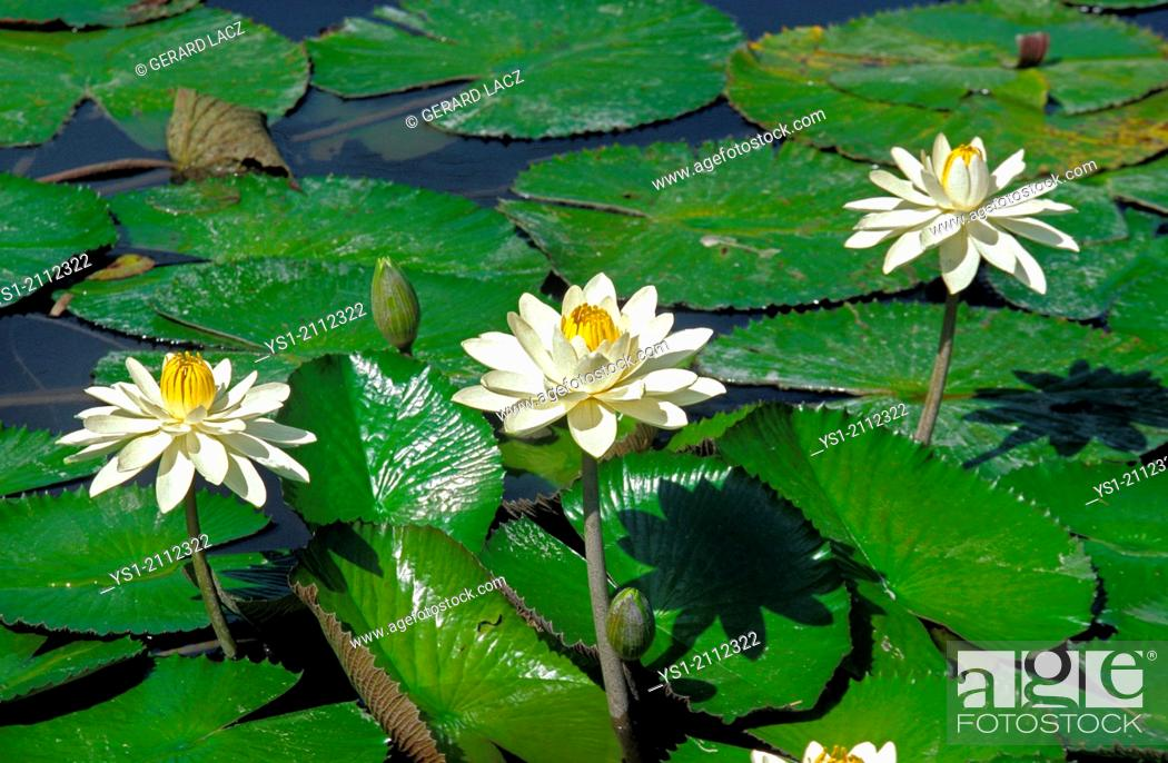 Stock Photo: Water Lily Flowers on Pond.