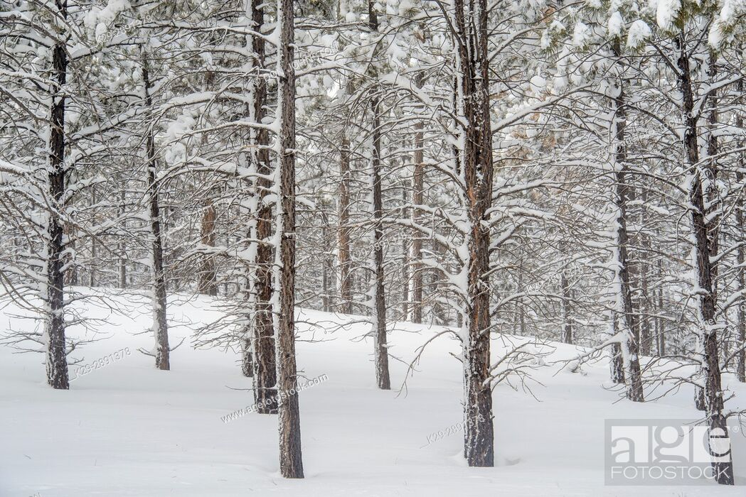 Stock Photo: Fresh winter snow in the ponderosa pine woodland, Bryce Canyon National Park, Utah, USA.