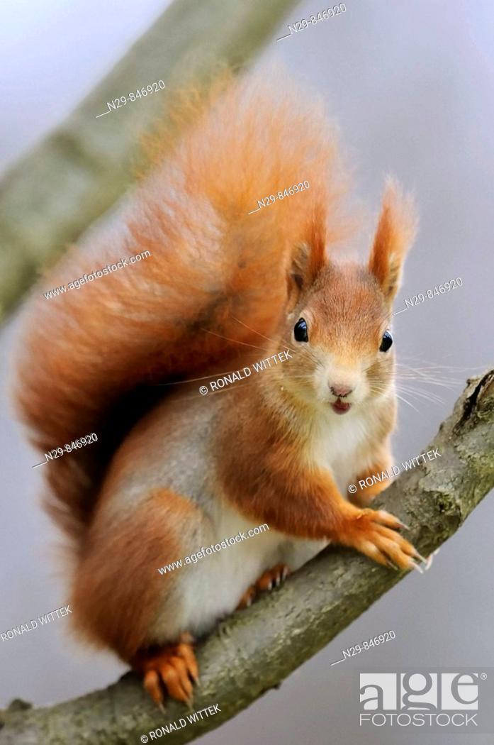 Stock Photo: Red Squirrel (Sciurus vulgaris), Germany.