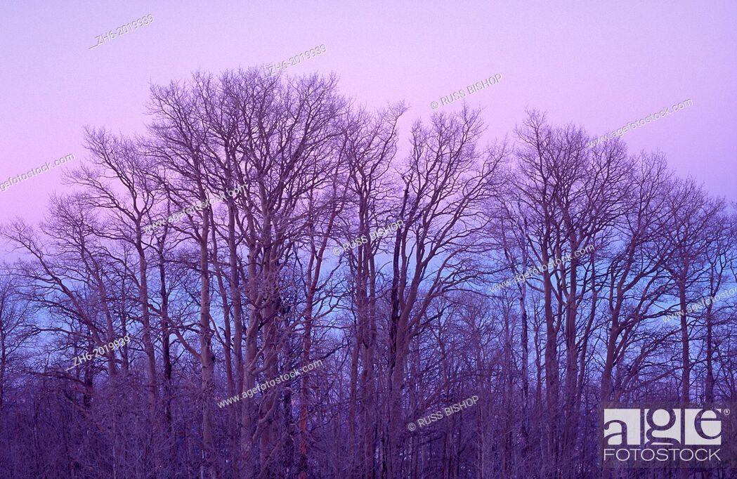 Stock Photo: Bare aspen trees against purple twilight on Boulder Mountain, Dixie National Forest, Utah USA.