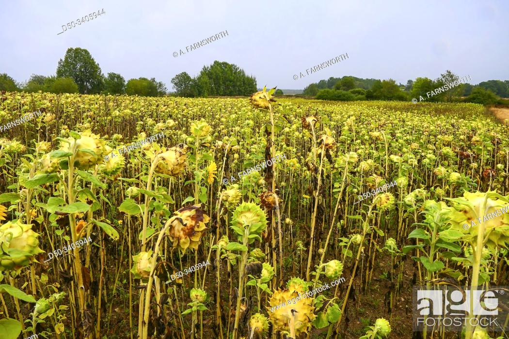 Stock Photo: Visby, Gotland, Sweden Sunflowers in a field.