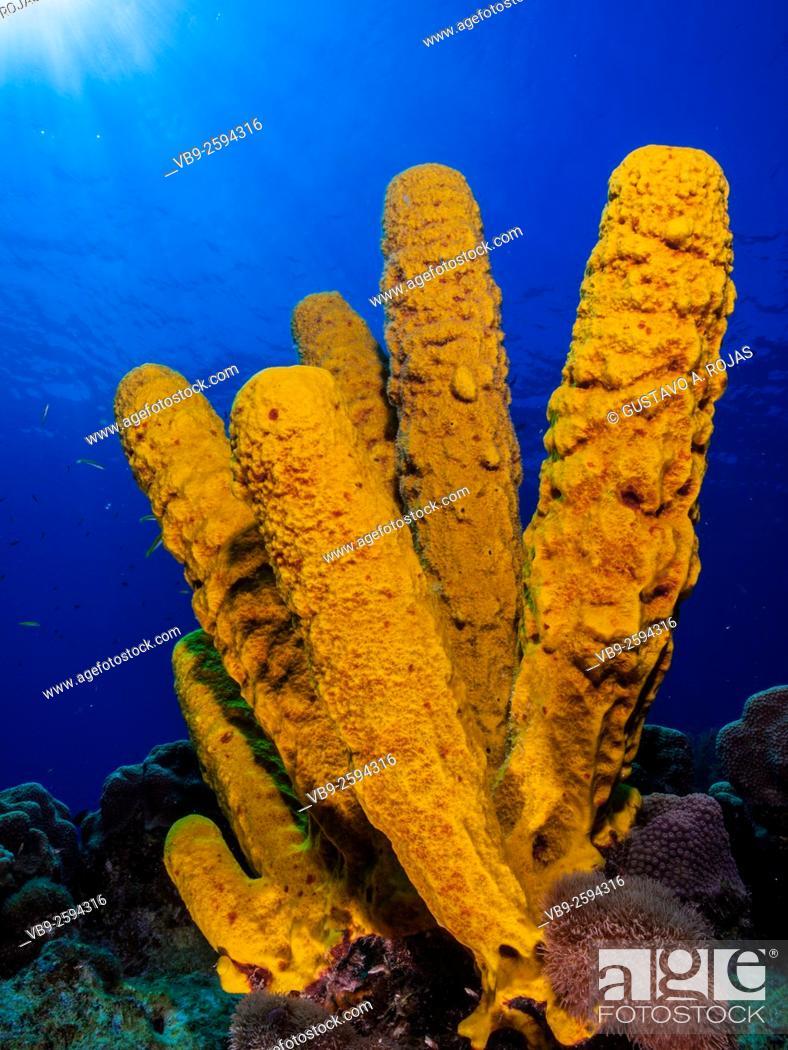 Stock Photo: Yellow Tube Sponge -Aplysina fistularis-Metazoa -Los Roques. Venezuela.